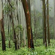 Australia Enchanted Forest Art Print