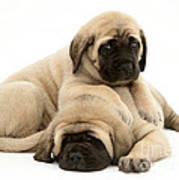 English Mastiff Puppies Print by Jane Burton