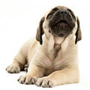 English Mastiff Puppy Print by Jane Burton