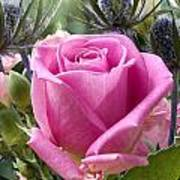 English Pink Rose Close Up Art Print