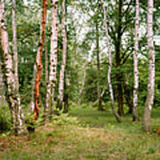 English Woods Silver Birch Trees Art Print