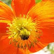 Enter The Orange Poppy Art Print