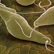 Euglena Gracilis, Sem Art Print