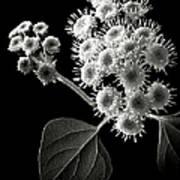 Eupatorium In Black And White Art Print