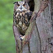 Eurasian Eagle-owl Bubo Bubo Looking Art Print