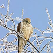 Eurasian Kestrel Falco Tinnunculus Art Print