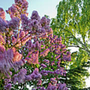 Evening Lilac Art Print
