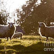 Evening On The Meadow Art Print