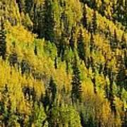 Evergreen And Quaking Aspen Trees Art Print