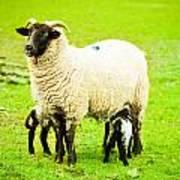 Ewe And Lambs Print by Tom Gowanlock
