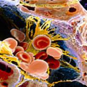 F. Colour Sem Of Macrophage & Blood Cells In Liver Art Print by Prof. P. Mottadept. Of Anatomyuniversity \la Sapienza\