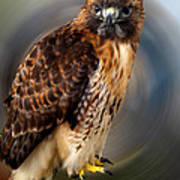 Falco 2 Tinnunculus Vf Art Print