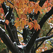 Fall Foliage Of Maple Tree After An Art Print by Tim Laman