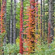 Fall Ivy On The Trees Art Print