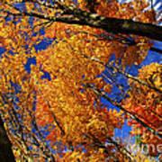 Fall Maple Treetops Print by Elena Elisseeva