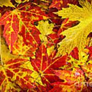 Fallen Autumn Maple Leaves  Art Print