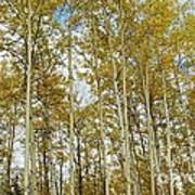 Falling For The Birch And Aspens Art Print