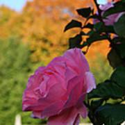 Fall's Final Rose Art Print