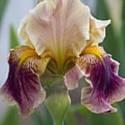 Fancy Dancy Iris Art Print
