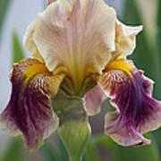Fancy Iris Dance Ruffles Art Print