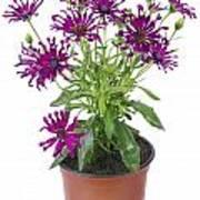 Favourite Violet Indoor Flower Art Print