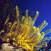 Featherstars On Coral Art Print