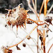 February Sunflower Art Print