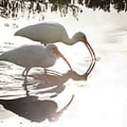 Feeding White Ibis Art Print