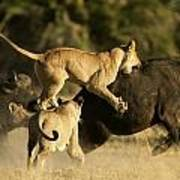 Female African Lions Pounce On An Art Print by Beverly Joubert