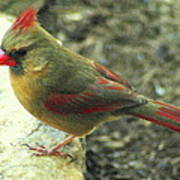 Female Northern Cardinal Art Print