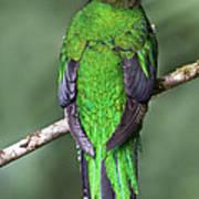 Female Resplendent Quetzal - Dp Art Print