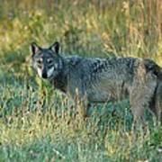 Femle Gray Wolf In The Morning Light Art Print
