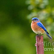 Fence Post Bluebird Art Print
