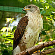 Ferruginous Hawk Art Print