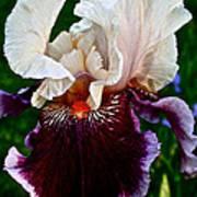 Festive Iris Art Print