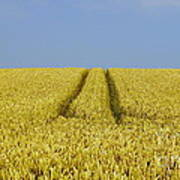 Field Of Corn Art Print