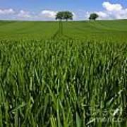 Field Of Wheat. Auvergne. France. Europe Art Print