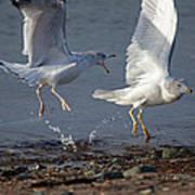Fighting Gulls Art Print