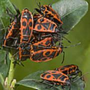 Firebugs Mating Art Print