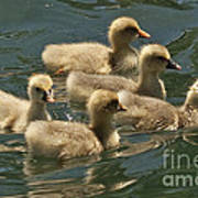 Five Baby Geese Swimming Art Print