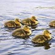 Five Goslings In The Water Art Print
