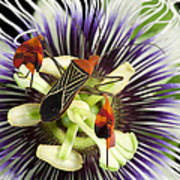 Flag-footed Bug Anisocelis Flavolineata Art Print