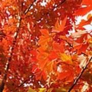 Flaming Maples Art Print