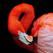 Flamingo Preening Art Print