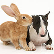 Flemish Giant Rabbit And Miniature Bull Art Print