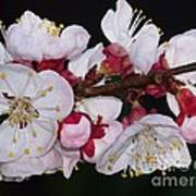 Fleurs D'abricotier Art Print
