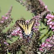 Flitter - Butterfly - Swallowtail Art Print