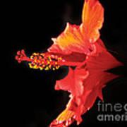 Floating Hibiscus Art Print