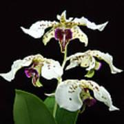 Flock Of Dendrobium Art Print