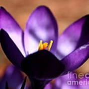 Catching Crocus  Art Print